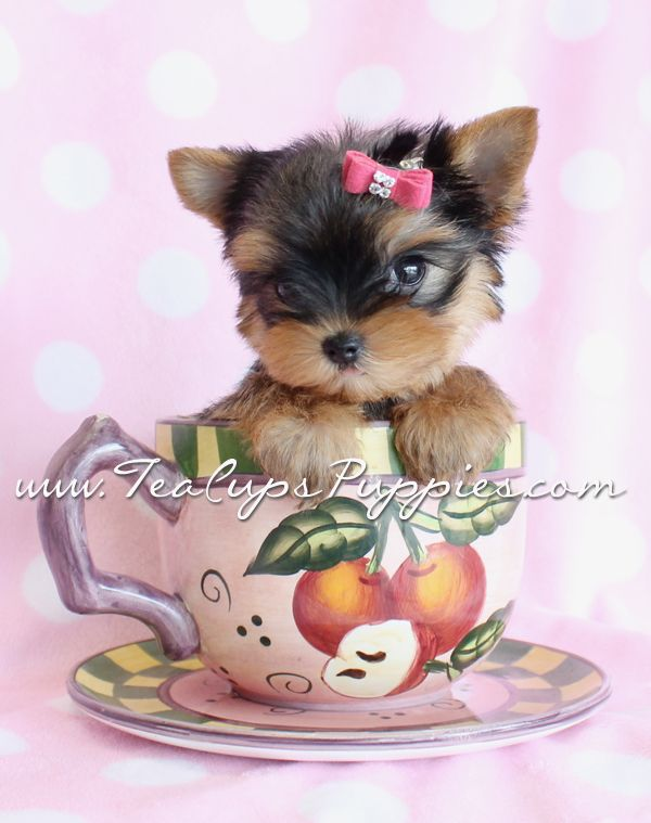 Adorable Teacup Yorkie Puppy!