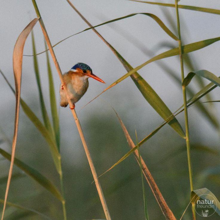 Der kleine Malachiteisvogel fühlt sich im Okavangodelta bzw. am Wasser in Botswana sehr wohl. Auf meinem Blog zeige ich dir, welche Vögel wir noch gesehen haben.