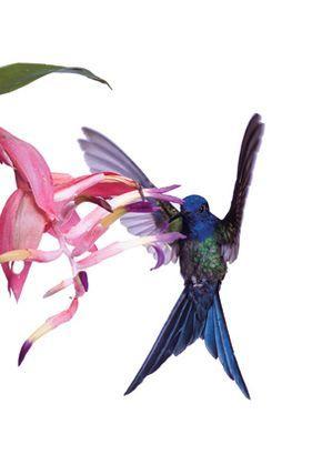 ナショジオが紹介した、世界の美しい鳥たち | ナショナルジオグラフィック日本版サイト ツバメハチドリ