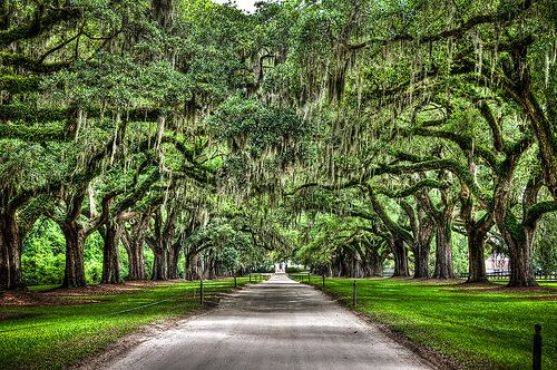 Boone Hall Plantation; Grand Avenue of Oaks. America's oldest working plantation. Still growing crops and feeding folks for over 300 years.