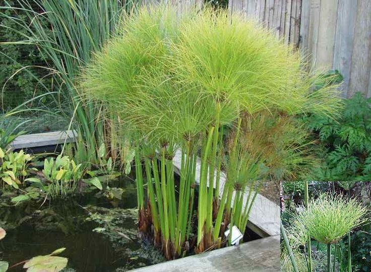 Papyrus plante exterieur perfect papyrus du nil plante vendue dans un bac cylindrique diamtre - Papyrus plante d interieur ...