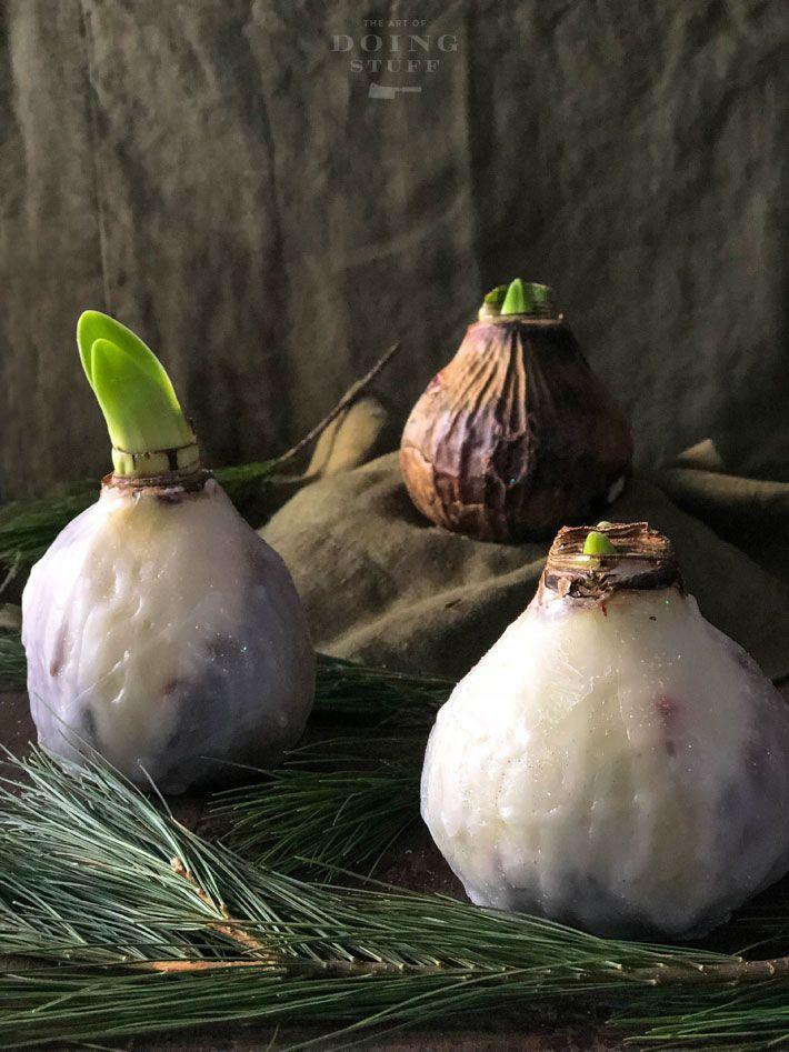 How To Make Wax Dipped Amaryllis Bulbs Amaryllis Bulbs Flower Bulb Gifts Bulb Flowers