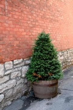 small conifer in wooden pot - Google Search