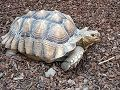 You Should Think Twice About These Reptiles as Pets: Sulcata Tortoise
