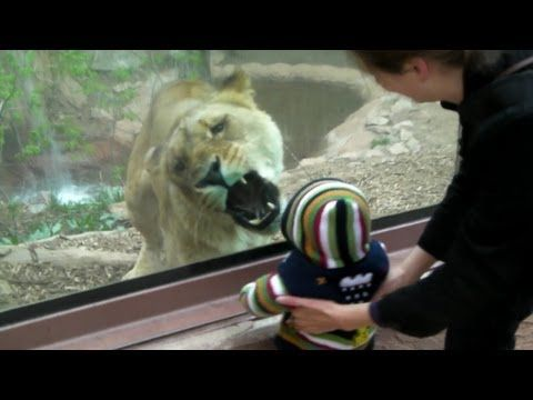 1 year old Trent got the attention of Angie, a 400 lb. lioness at the Cheyenne Mountain Zoo.  Uploaded April 2011.