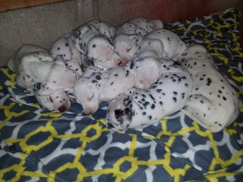 Dalmatian puppy for sale in BEECH GROVE, IN. ADN-46423 on PuppyFinder.com Gender: Male. Age: 4 Weeks Old