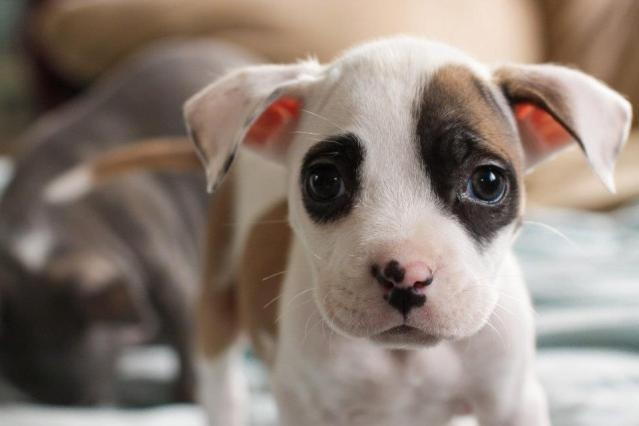 Needs adoption soon in Portland Oregon.  Look at that face!!Adorable Dogs, Bull Terriers, Little Puppies, Puppies Dogs, Baby Animal, Pit Bull, Animal Warm, Sweets Pitti, Portland Oregon