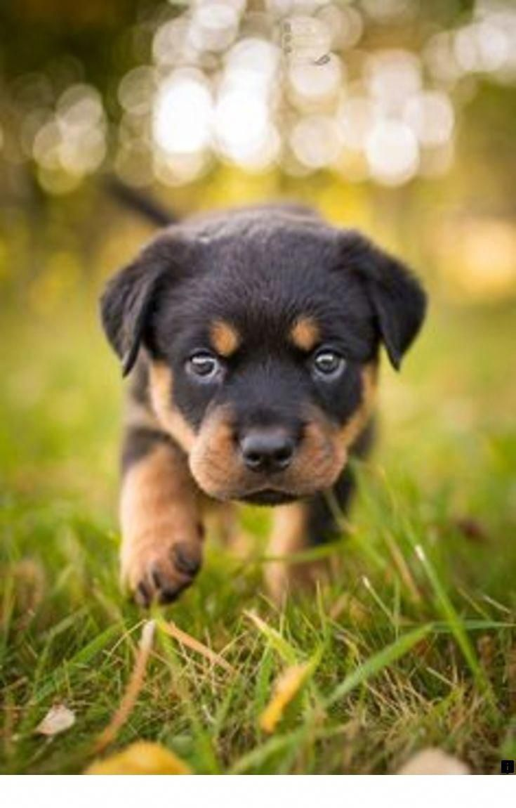 Things We All Adore About The Rottweiler Pup Rottweilerlove