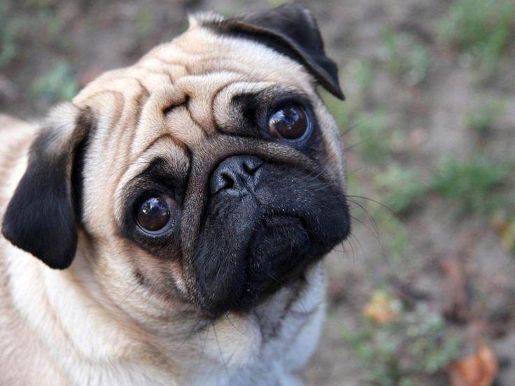かわいいパグ-犬の写真の壁紙 - 1600x1200 壁紙ダウンロード