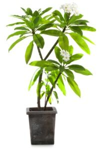 Indoor plumeria care. Discover how to grow plumeria, propagation, watering, repotting. Plumeria