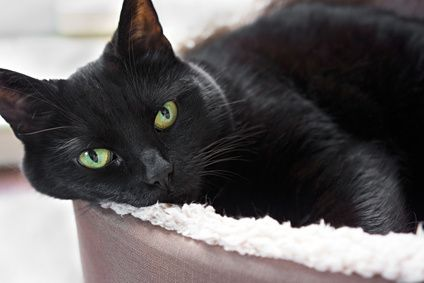 a nuzzle from Liquorice #LiftYourDay http://www.catbehaviorassociates.com/wp-content/uploads/2013/11/black-cat-in-bed.jpg