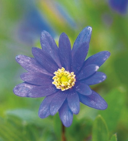 Use Anemone blanda 'Blue Shades' to create a blue carpet in your borders through sun or shade, and I love to pick them.