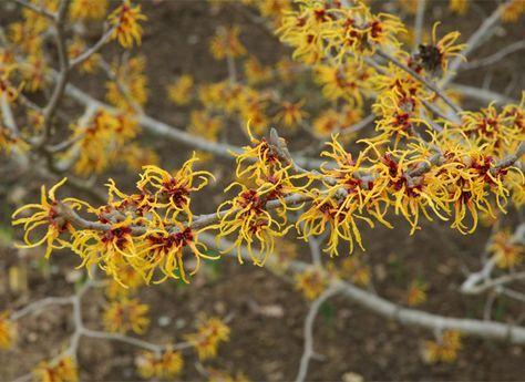 l'hamamélis, arbuste rustique