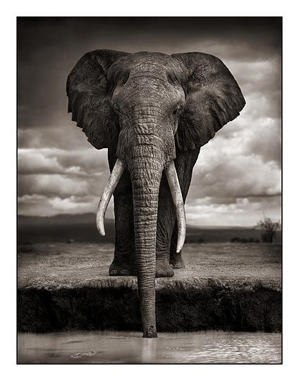 AfricaWild Animal, African Elephant, Stunning Photography, Animal Photography, Nick Brandt, Brandt Photography, Black White, Beautiful Creatures, Amazing African