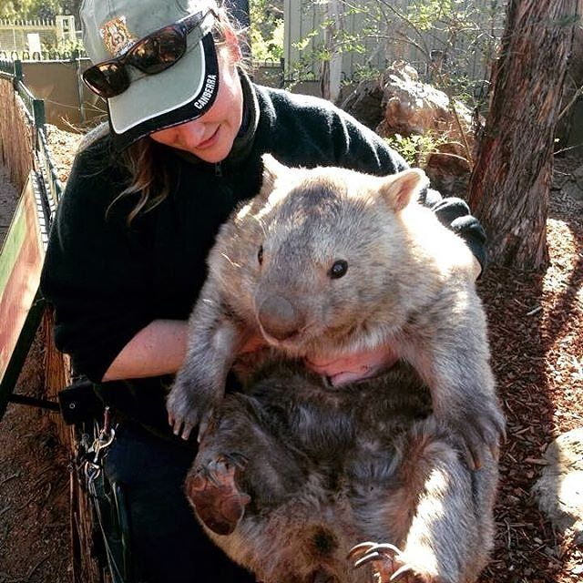 Here at @visitcanberra we love playing matchmaker! Canberra's @nationalzoo has a gorgeous wombat named Winnie and we think she might be just the girl @ballaratwp's famous wombat Patrick is looking for. Patrick, who recently celebrated his 30th birthday, has never had a girlfriend. Maybe a trip to Canberra could change all that? #visitcanberra #patrickandwinnie