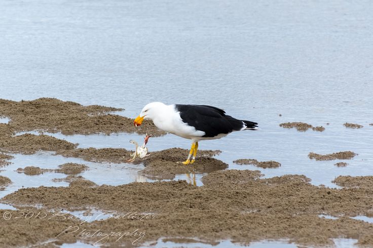 A Pacific Gull making a meal of a crab at Inverloch, Victoria, Australia