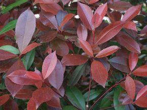 Las 25 mejores ideas sobre plantas para cercos en for Tres plantas ornamentales