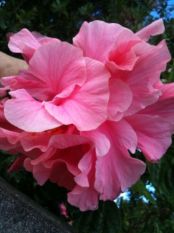 Triple Hibiscus | Flowers, Hibiscus, Rose |Triple Hibiscus
