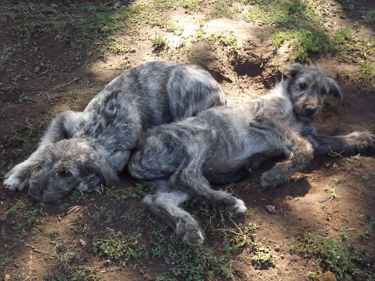 irish wolfhound dog | Irish Wolfhounds Puppies Hunt Farms - Irish Wolfhound Puppies for sale ...