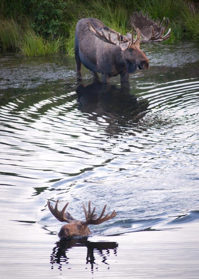 """This is a Bull Moose (male) The moose (North America) or Eurasian elk (Europe) (Alces alces) is the largest extant species in the deer family. Moose are distinguished by the palmate antlers of the males; other members of the family have antlers with a dendritic (""""twig-like"""") configuration. Moose are found in Canada, Alaska, Scandinavia and Russia  and do not form herds. Their mating season in the autumn can lead to spectacular fights between males competing for a female."""