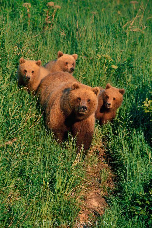 Bears out for their walk :-) Brown bear mother and cubs, Katmai National Park, Alaska
