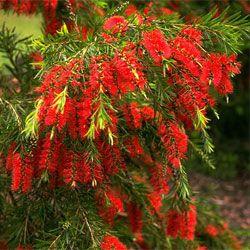 Callistemon viminalis (weeping bottlebrush) Eastern Australia, tree to 5-7m Bird attracting