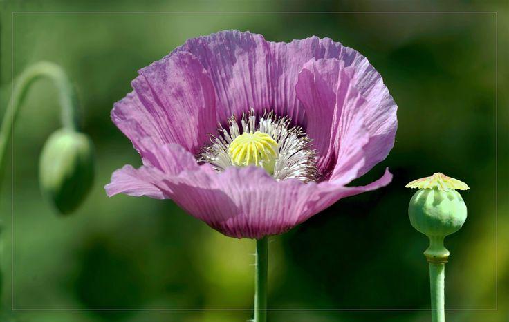 https://flic.kr/p/uiohhv   Synchronic: Bud, Flower, Seed pod   Schlafmohn, Papaver somniferum