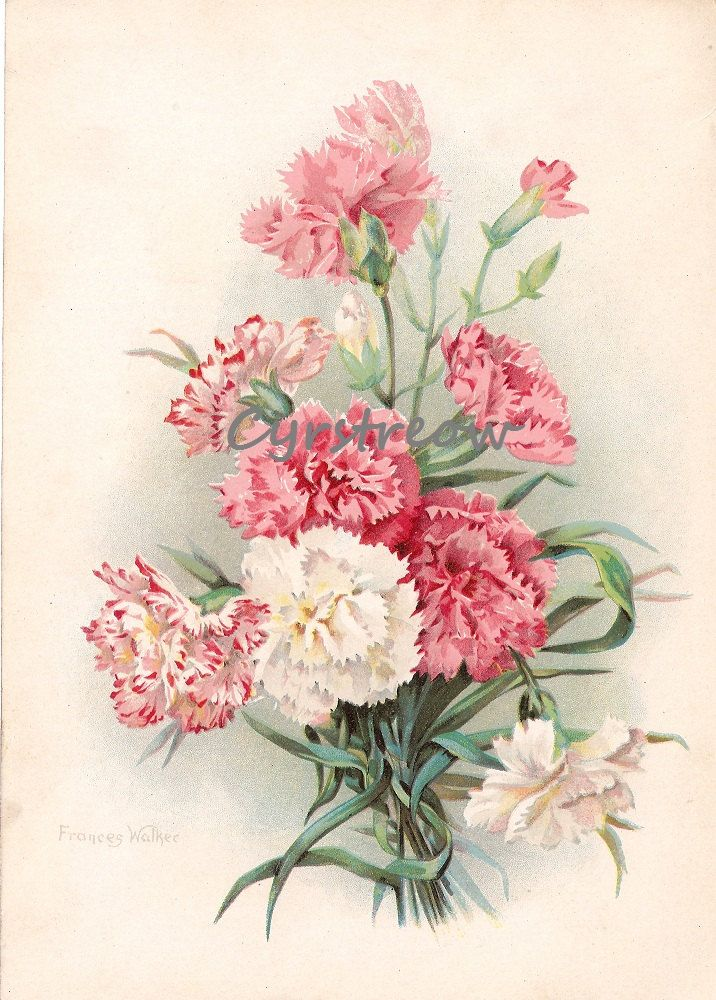 vintage botanical print PINK and WHITE CARNATIONS