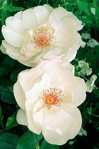 """""""Jaqueline Dupre"""" white rose with red centers make her a real standout in the garden!"""