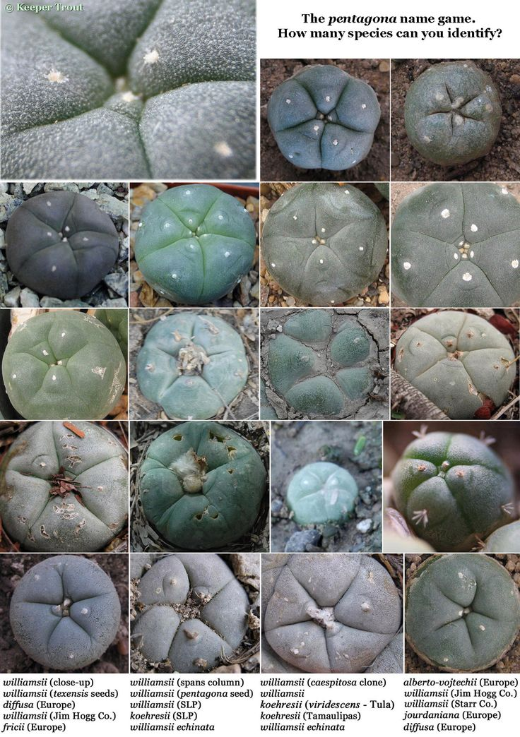 "Texas Cactus .   (""Lophophora pentagona name game."")     Google search:  ""Lophophora is a genus of spineless, button-like cacti native to Texas from Presidio county south right along the Rio Grande River to Starr County, Texas. Wikipedia.""      (Pinned both to Nature - P&F-Succulents-*Odd Shapes/Appearances, N.O.C... & Texas Wildflowers...."")"