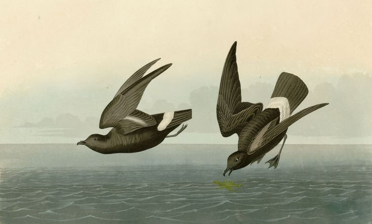 3951. Least Storm-Petrel (Halocyptena microsoma) | islands off the Baja Peninsula, Gulf of California of Mexico, as far south as the tropical Pacific South America