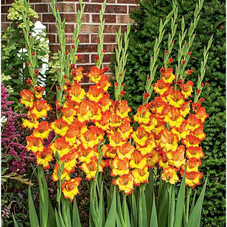 how to plant gladiolus bulbs indoors