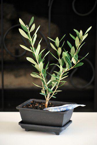 TOPSELLER! 9GreenBox - Olive Tree Bonsai - Olea Europaea w/ Water Tray & Fertilizer Christmas Gift $9.99
