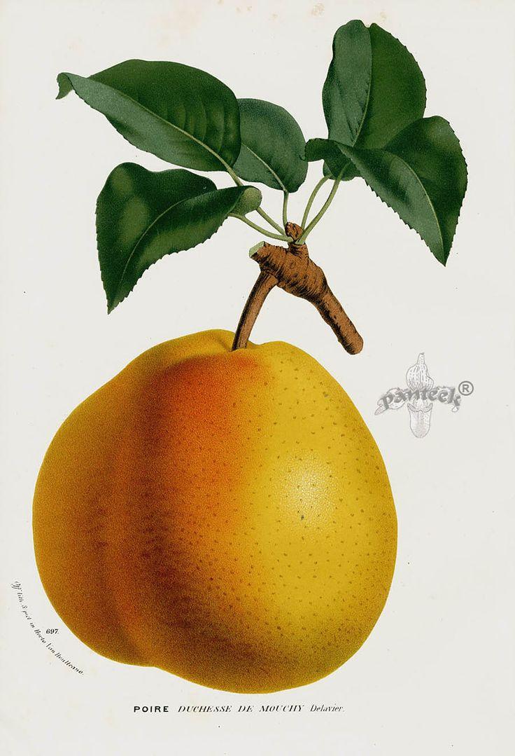 278 best PEAR images on Pinterest | Pears, Botanical illustration ...