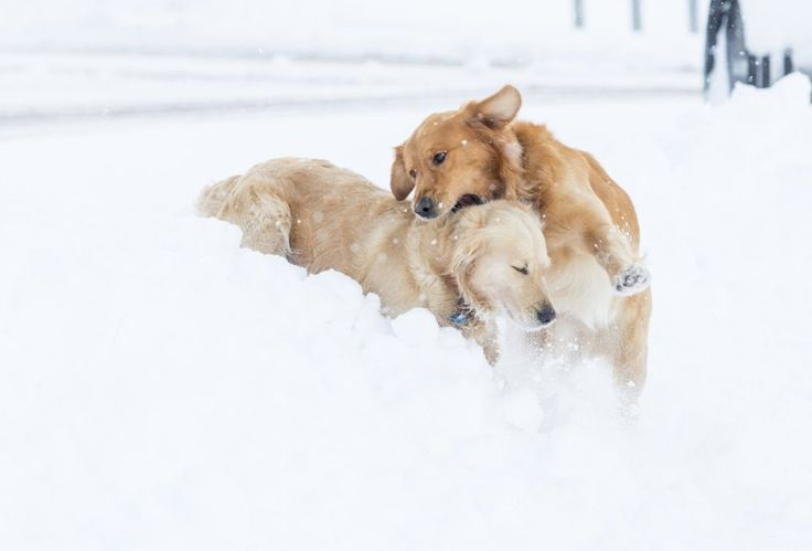 Dogs enjoying snow is our favourite thing about winter