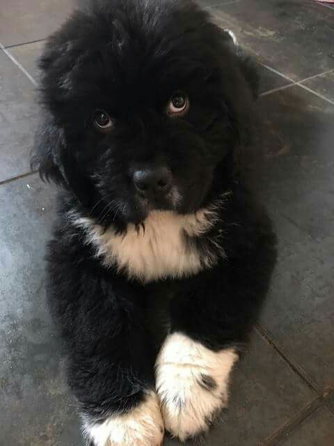 Newfoundland puppy ❤                                                                                                                                                                                 More