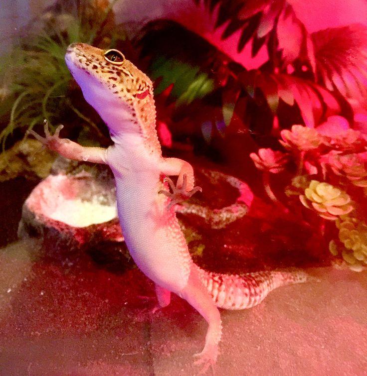 1000+ ideas about Leopard Geckos on Pinterest | Geckos ... - photo#30