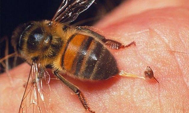 Veneno de abeja podría contener cura del sida - http://www.notimundo.com.mx/salud/veneno-abeja-contener-cura-sida/