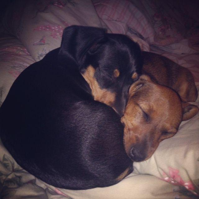 My baby Dachshund puppies #daphneandralph