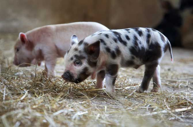 Fencing for Pigs and Hogs - The Beginners Guide - FarmerSpot.com