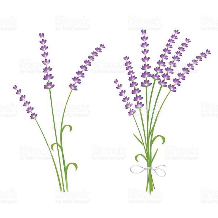 Fresh cut fragrant lavender plant flowers bunch and single royalty-free stock vector art