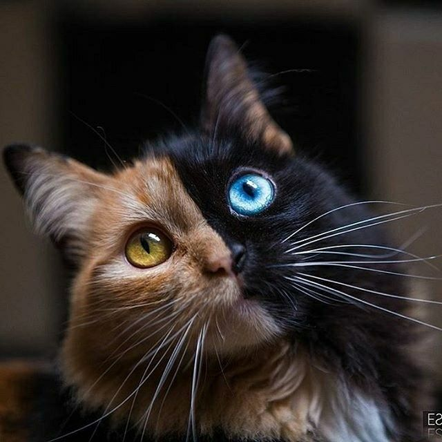 A Chimera cat. It's 2 distinct cats in one. I have one, she's tabi and black with green eyes. Lovely.