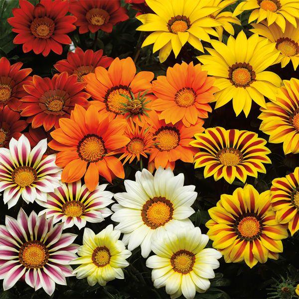 GAZANIA SEEDS MIX HYBRIDS STRIPPY PINK YELLOW ORANGE RED DAISY LIKE FLOWERS