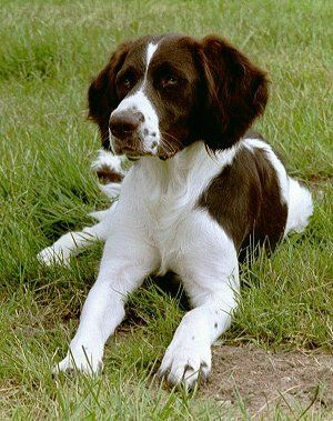 Drentse Patrijshond Pictures  (Drentsche Patrijshond) (Dutch Partridge Dog) (Drentse Partridge Dog)