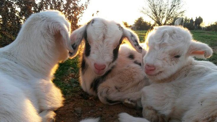 Little Goat lams.