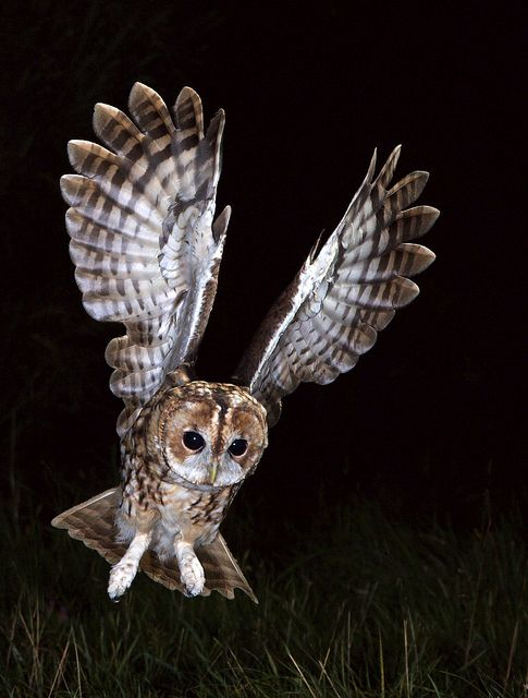 Tawny Owl in flight | Recent Photos The Commons Getty Collection Galleries World…