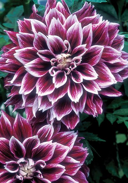 Tips from a way to garden on dahlias Sellwood Glory dahlia at Old House Gardens