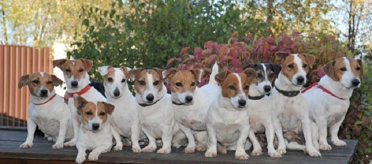 Crazy jack russell people are real and alive. You might be one of them.