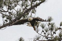 BC Female Bald Eagle 7