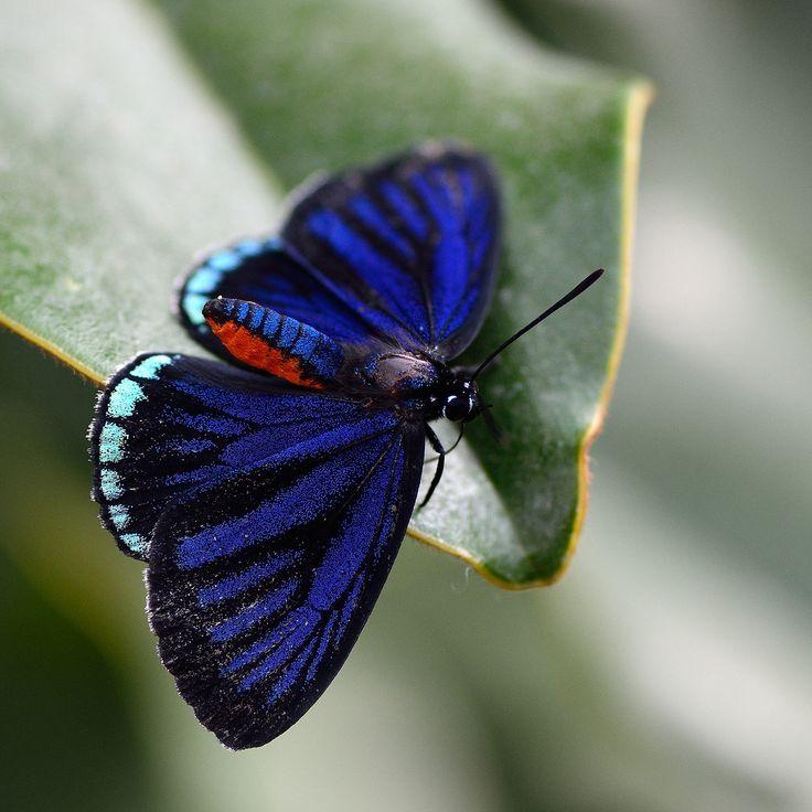 https://flic.kr/p/bnEb89 | Eumaeus atala | Papillons en liberté 2012